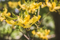 Azalea. Blooming with yellow flowers stock photo