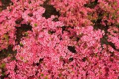 Azalea blooms Stock Photos