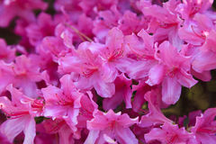 Azalea Blooms. Pink azaleas in bloom during the spring royalty free stock photos