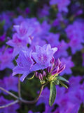 Azalea Blooms Stock Photo