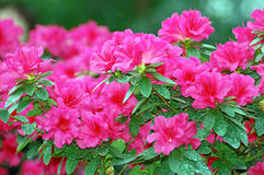Azalea blossom Stock Photos