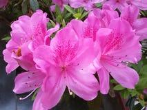 Azalea blossom Stock Images