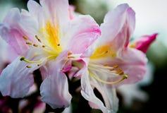 Azalea Blossom Stock Photography