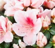 Azalea Royalty Free Stock Photography