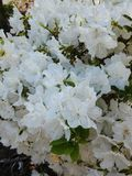 Azalea Blossoms branca no arbusto fotografia de stock