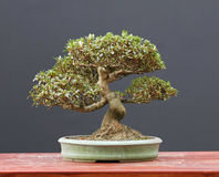 Azalea bonsai Stock Photography