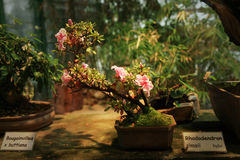 Azalea bonsai Royalty Free Stock Image