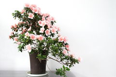 Azalea bonsai Stock Photo
