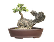 The azalea bonsai tree in a pot isolated Royalty Free Stock Images
