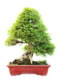 The azalea bonsai tree in a pot isolated. On white background Stock Photography