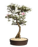 Azalea bonsai tree, Rhododendron, isolated Royalty Free Stock Photo