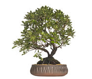 Azalea bonsai tree, Rhododendron, isolated Royalty Free Stock Image