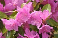 Azalea. Bright pink Azalea blossoms on a spring day royalty free stock photos