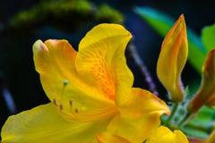 Azalea Bud gialla fotografie stock libere da diritti