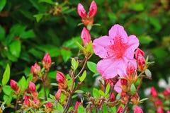 Azalea Buds Flowers Imágenes de archivo libres de regalías