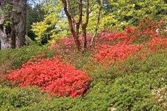 Azalea bush Royalty Free Stock Photo