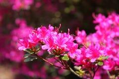 Azalea bush. Pink flowers on an azalea bush Royalty Free Stock Photo