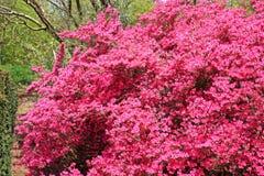 Azalea bush Stock Image
