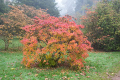Azalea bush with autumn colours Royalty Free Stock Photos