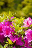 Azalea bush closeup Royalty Free Stock Photos