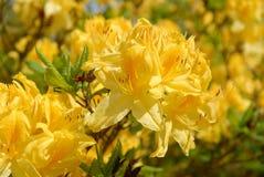 Bright yellow azalea flowers, close-up royalty free stock image