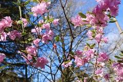 Azalea Bush Flowering cor-de-rosa na mola imagem de stock