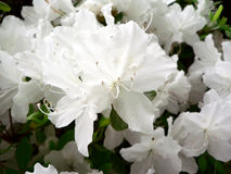 Azalea bush flowers macro Royalty Free Stock Photography