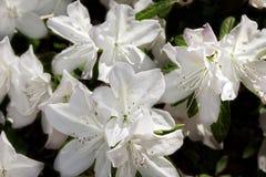 Azalea Bush na primavera Fotografia de Stock Royalty Free