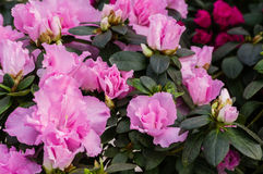 Azalea bush with pink flowers Stock Images