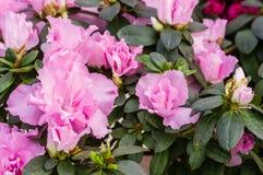 Azalea bush with pink flowers Royalty Free Stock Photography
