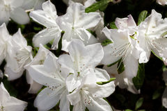 Azalea Bush in Springtime Royalty Free Stock Photography