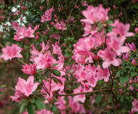 Azalea Bush Wild in Nature Stock Photography