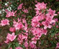 Azalea Bush Wild in Nature. Short depth of field photo of a beautifully untended azalea bush full of fresh pink blooms Stock Photography