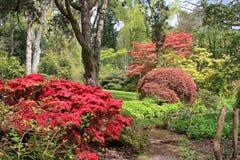 Azalea bushes. Azaleas flowering in a garden Royalty Free Stock Photo