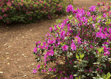 Azalea Bushes Beneath The Pines Royalty Free Stock Photos