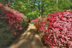 Azalea che fiorisce nella piantagione di Isabella immagini stock libere da diritti