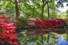 Azalea che fiorisce nella piantagione di Isabella fotografia stock libera da diritti