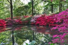 Azalea che fiorisce nella piantagione di Isabella immagine stock