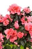 Azalea closeup Stock Photography