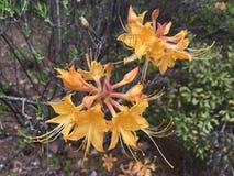 Azalea de la llama (calendulaceum del rododendro) Fotos de archivo