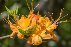 Azalea de la llama - calendulaceum del rododendro foto de archivo libre de regalías