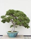 Azalea de los bonsais Fotos de archivo
