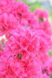 Azalea de Satsuki Fotografía de archivo