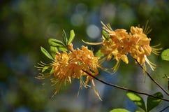 Azalea della fiamma Fotografie Stock