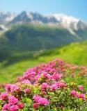 Azalea di fioritura nelle alpi della Savoia Fotografie Stock Libere da Diritti