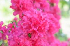 Azalea di Satsuki Fotografie Stock