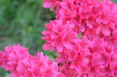 Azalea di Satsuki Fotografie Stock Libere da Diritti