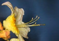 Azalea dopo pioggia Immagini Stock