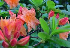 Azalea en color anaranjado apacible Imagen de archivo libre de regalías