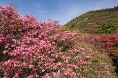 Azalea en heuvel stock foto